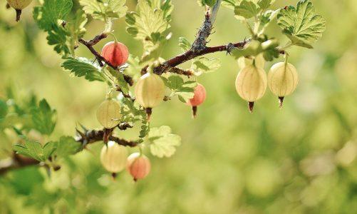 Dlaczego uprawiamy krzewy owocowe w ogrodach?